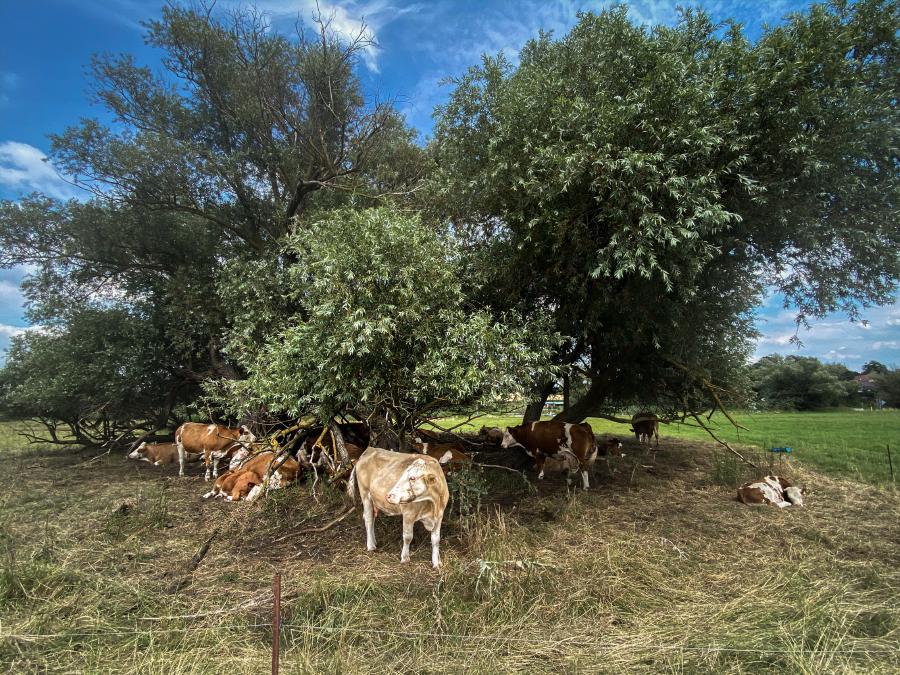 Kühe im Schatten