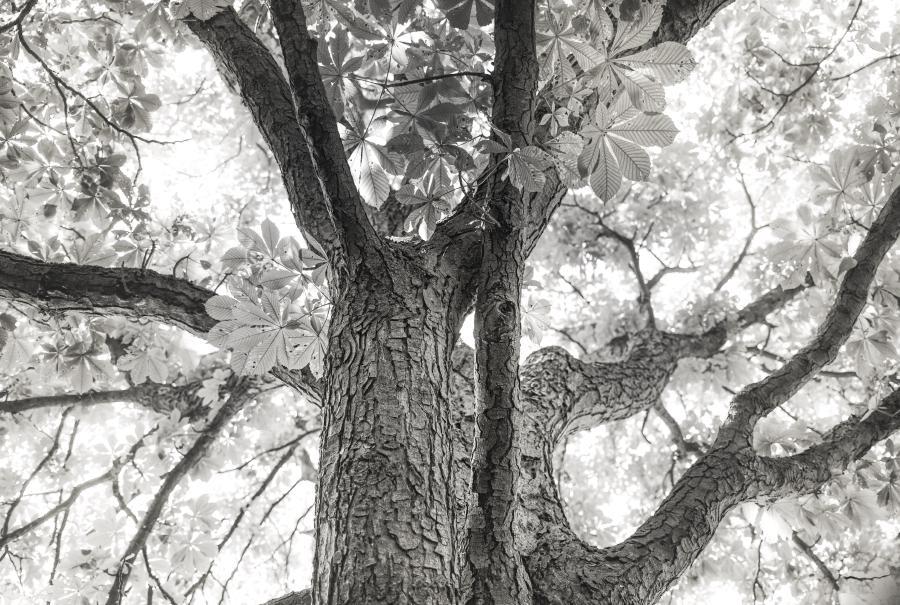 Baumkrone in schwarz-weiß