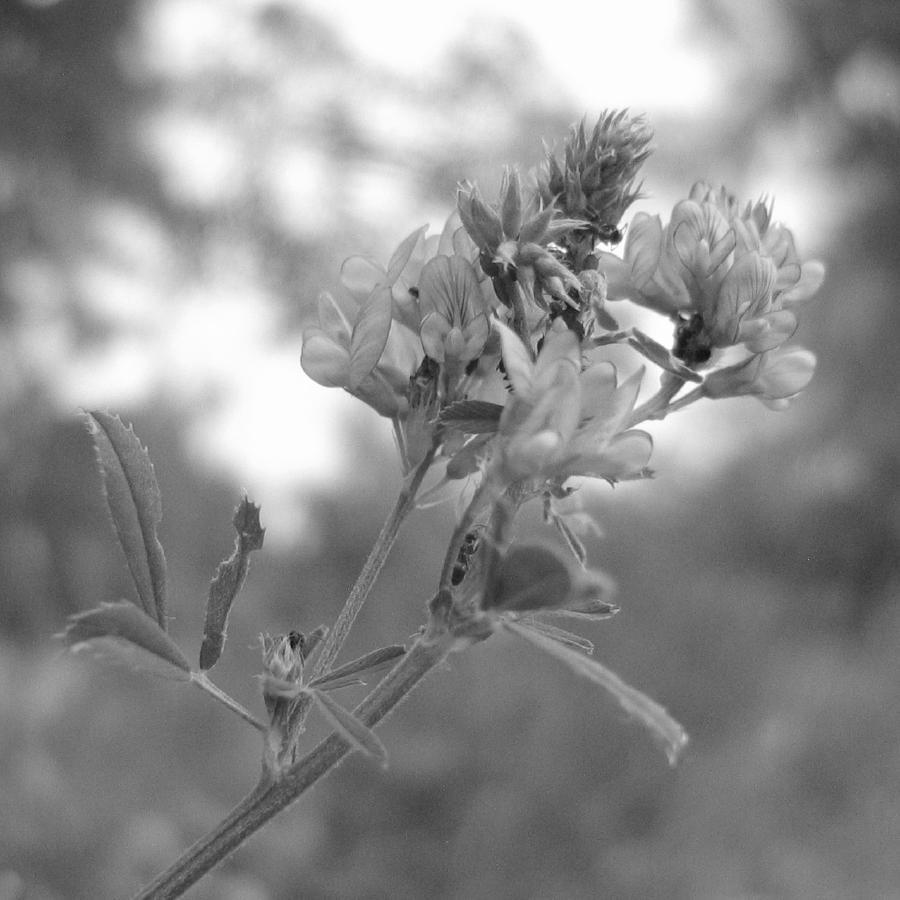 Schwarz-Weiß Foto: Blüte