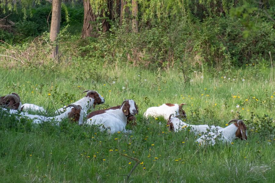 Ziegenherde in den Tiefwerder Wiesen, Spandau