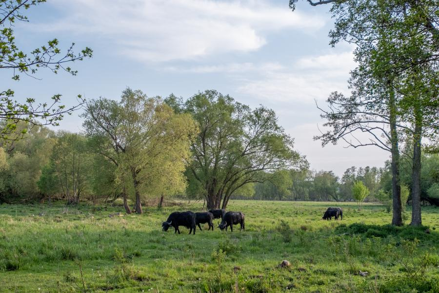 Schwarzbüffel in den Tiefwerder Wiesen, Spandau